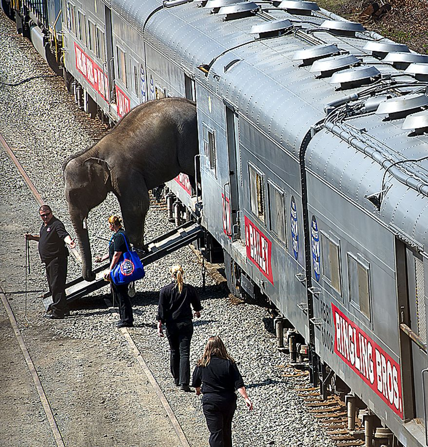 A baby elephant with the Ringling Bros. and Barnum & Bailey Circus makes its way off the circus train in Washington on Tuesday, March 22, 2011, in preparation for the annual Pachyderm Parade, which announces the circus's arrival in the nation's capital for performances at the Verizon Center. (Barbara L. Salisbury/The Washington Times)