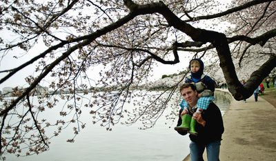 PHOTOGRAPHS BY DREW ANGERER/THE WASHINGTON TIMES Bundled up with his hood covering his head, Leal Abbatiello, 3, rode on the shoulders of his dad, James, as they walked along the Tidal Basin to look at the cherry blossoms on Sunday. The pair live in Alexandria. Winds forced the postponement of the kite festival.