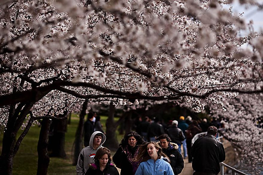 Despite the chilly weather, crowds still came out to the Tidal Basin area to see the cherry blossoms, in Washington, D.C., Sunday, March 27, 2011. (Drew Angerer/The Washington Times)