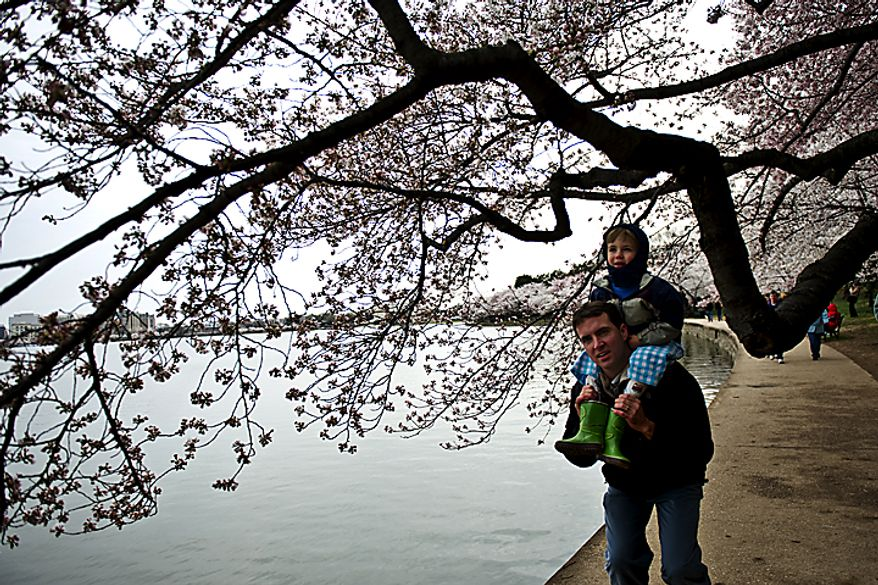 Bundled up with his hood on, Leal Abbatiello, 3, rides on his dad James' shoulders as they walk along the Tidal Basin to look at the cherry blossoms, in Washington, D.C., Sunday, March 27, 2011. The family is from Alexandria, Va. (Drew Angerer/The Washington Times)