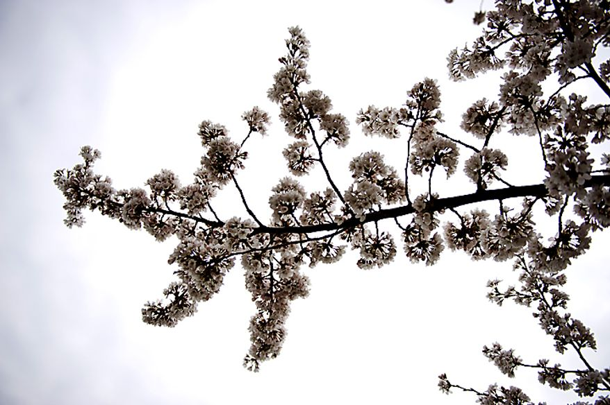 Cherry blossoms are seen against an overcast sky near the Tidal Basin, in Washington, D.C., Sunday, March 27, 2011. (Drew Angerer/The Washington Times)