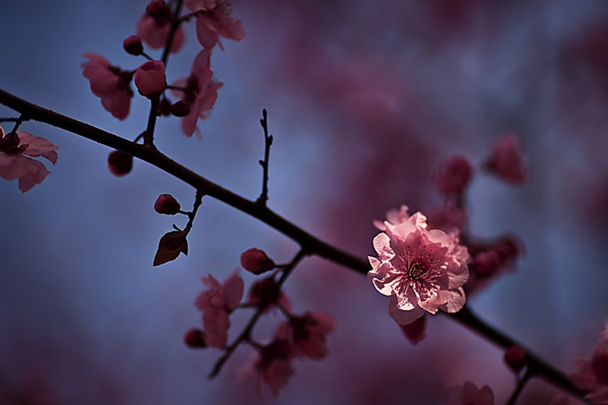 A blooming cherry blossom is seen in Dumbarton Oaks in Georgetown, in Washington, D.C., Saturday, March 26, 2011. (Drew Angerer/The Washington Times)
