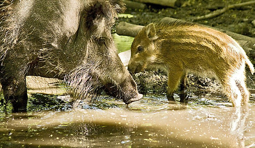 Wild boars (Sus scrofa) in an enclosure at the Revierfoersterei (forester's range) Hakenfelde in the northwestern part of Berlin. (Harald Franzen/Special to The Washington Times)