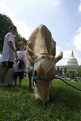 Morgan the cow stops to eat grass on her way to being milked at a rally held by Grassfed on the Hill at Upper Senate Park in Washington, D.C., on Monday, May 16, 2011. The rally was held to protest the sting operation the FDA conducted against Pennsylvania dairy farmer Dann Allgyer and his private buying customers. (Barbara L. Salisbury/The Washington Times)
