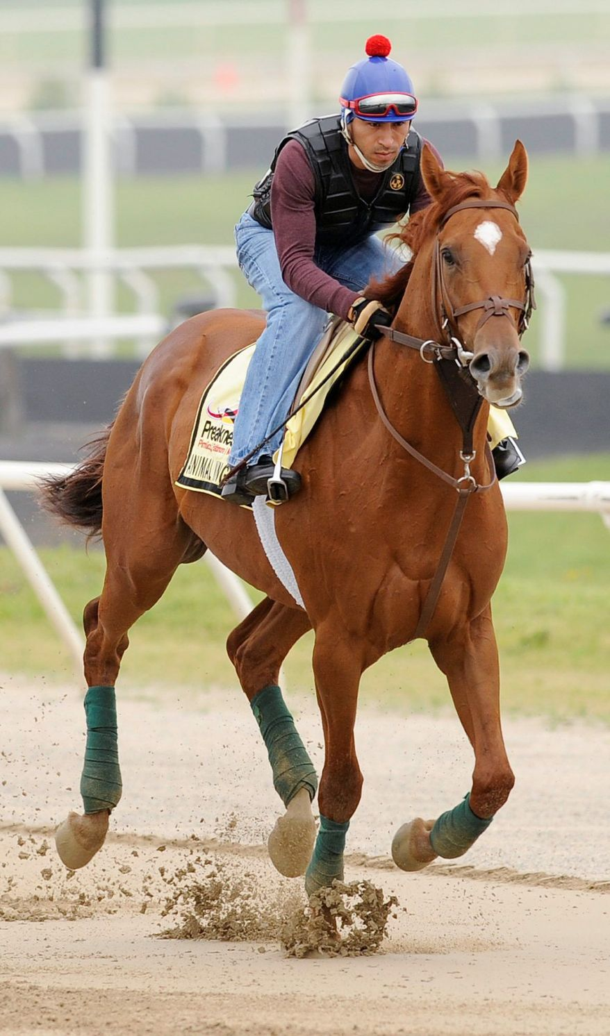 Kentucky Derby winner Animal Kingdom with David Nava aboard gets a morning work out at the Fair Hill Training Center on Monday, May 16, 2011 in Fair Hill, Md. Animal Kingdom and his trainer Graham Motion are preparing for the 136th Preakness Stakes race Saturday in Baltimore. (AP Photo/Jim Dietz)
