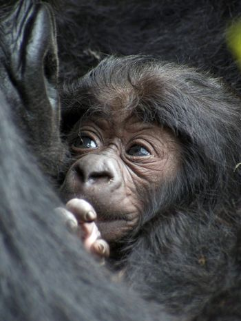 Only about 45 days old, this mountain gorilla baby belongs to Bukima and will be among 22 babies to be given names in Saturday festivities in Rwanda.