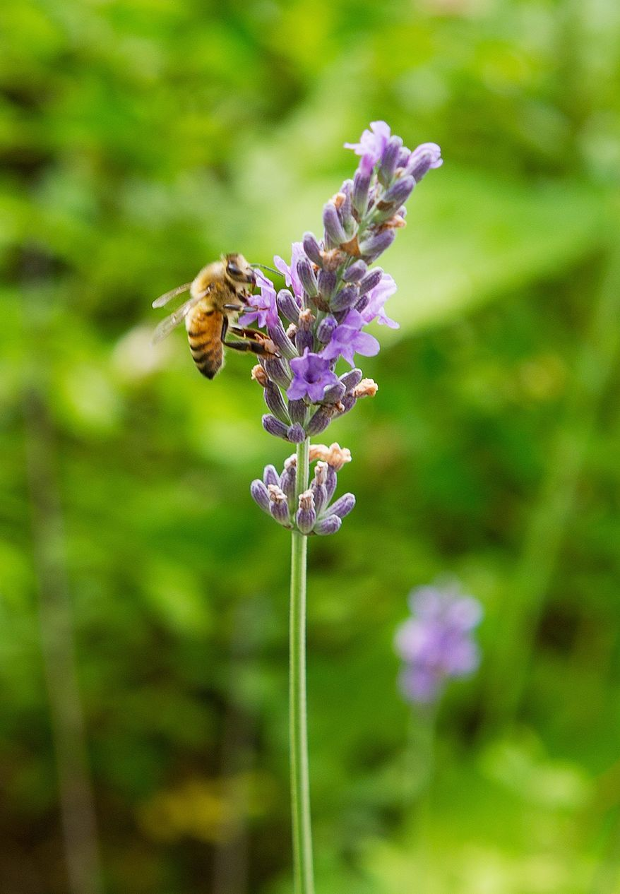 A bee pollinates some lavendar in Kathy Jentz's Silver Spring, Md., cottage garden on Monday, June 20, 2011. According to Jentz, editor of Washington Gardner magazine, a cottage garden is perhaps the most informal of all gardens. Flowers can bleed over into other beds and even into pathways, and it's ok. The goal, she says, is to have something in bloom all year round. Lavendar is another old-fashioned plant that grandma might have had in her own garden. (Barbara L. Salisbury/The Washington Times)