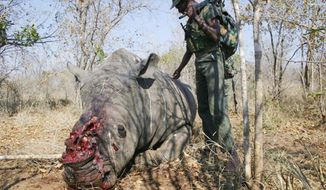 A South African soldier comes upon the corpse of a slaughtered rhino in a national park in South Africa. The poachers typically operate around sunset, shoot a rhino, and spend the night in the bush before heading home with the horn of the animal. (Associated Press)