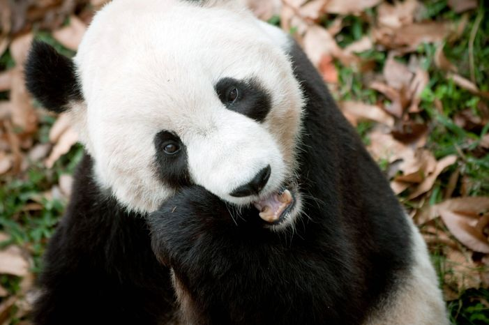 Tai Shan the panda at the National Zoo in 2009. (The Washington Times)