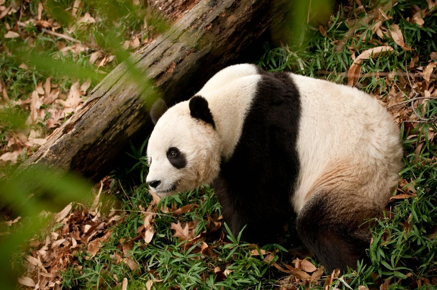 Tai Shan was the subject of a secret plan to keep him at the National Zoo. A State Department official sent an email to zoo officials in Washington suggesting that President Obama discuss the matter with Chinese President Hu Jintao. (The Washington Times)