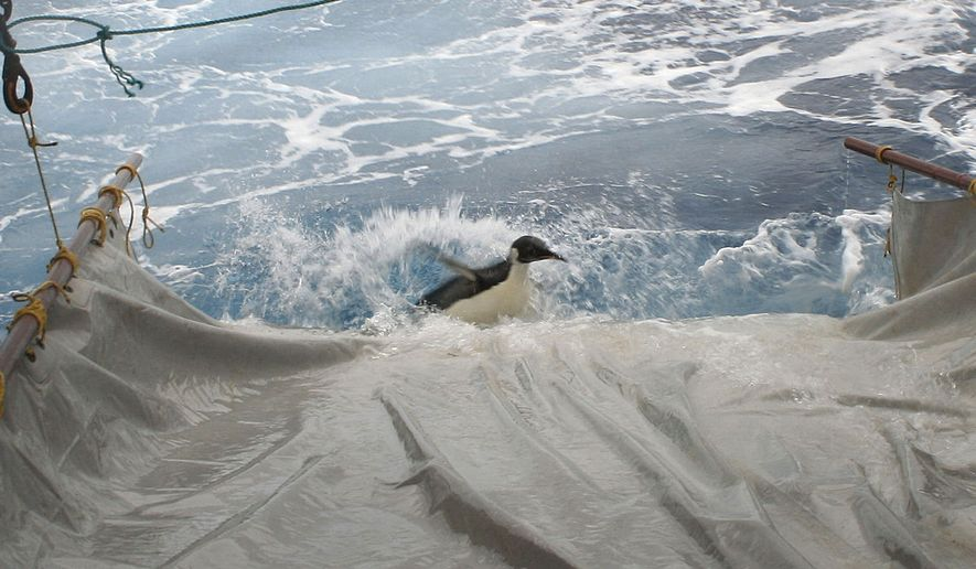 """In this image released by New Zealand's National Institute of Water and Atmospheric Research Ltd., the wayward emperor penguin dubbed """"Happy Feet"""" slides down a makeshift water slide into the Antarctic Ocean south of New Zealand as he is released from the NIWA research vessel Tangaroa on Sunday, Sept. 4, 2011. (AP Photo/NIWA)"""