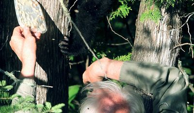 A researcher from the North American Bear Center uses food to lure Hope, then a cub, out of a tree near Ely, Minn., in May 2010. Hope was last seen Sept. 14. (Associated Press)