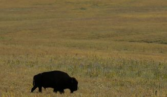 In this Sept. 22, 2011, photo, a bison grazes on the native grasses at the Tallgrass Prairie National Preserve near Strong City, Kan. The 11,000 acre preserve gives tourists a glimpse of what settlers on the Kansas prairie would have seen. (AP Photo/Charlie Riedel)