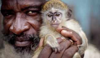 """Joe Cabey, a monkey trapper, holds a vervet monkey he captured in the mountains in Basseterre, St. Kitts & Nevis. Thousands of vervets have lived uneasily with islanders for more than three centuries. At the St. Kitts Biomedical Research Foundation, about 600 vervets live in pens at a former sugar estate. """"The monkeys get better care than I do,"""" said Dr. Ricaldo Pike, a veterinarian at the lab, which has conducted groundbreaking research on Parkinson's disease. (Associated Press)"""