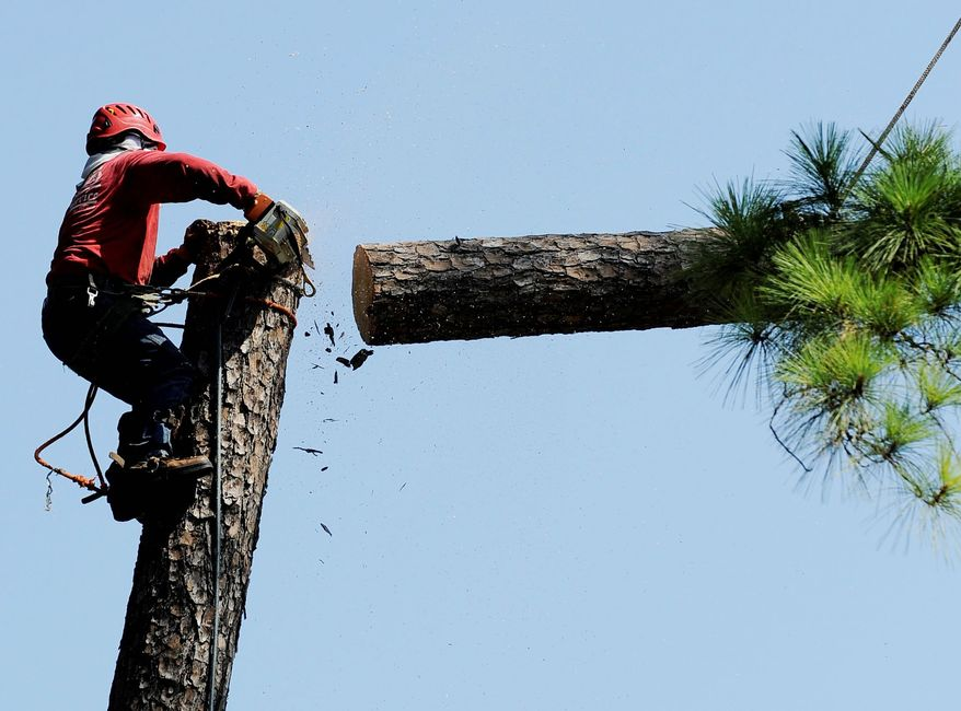 A worker starts to cut down a pine tree last month in Houston. The lack of rain and extreme heat during a historic dry spell in Texas have taken a brutal toll on forests and city parks, and the effects could alter the state's landscape for years. (Associated Press)