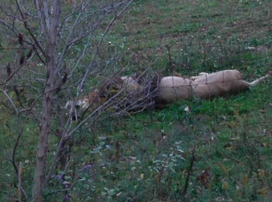 A dead lion lies by the fence on Terry Thompson's wild-animal preserve near Zanesville, Ohio, on Tuesday, Oct. 18, 2011. (AP Photo/Heather Ellers and Dustin Burton)