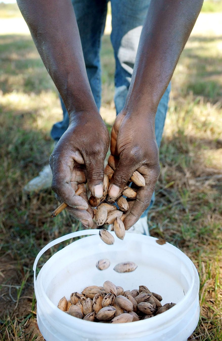 Charles Johnson dumps pecans into a bucket in Louisiana. The average retail price for a pound of pecans has risen from $7 in 2008 to about $11 this year. (Associated Press)