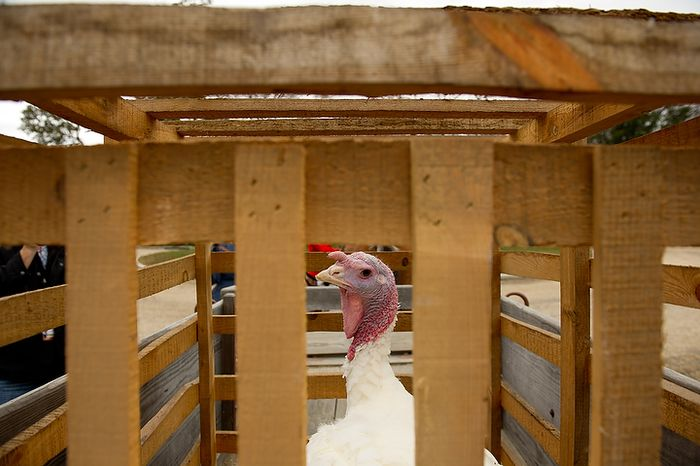 Liberty, the turkey pardoned by President Obama, is loaded Nov. 23, 2011, into a cage for its trip by horse and wagon to Mount Vernon in Virginia. (Andrew Harnik/The Washington Times)