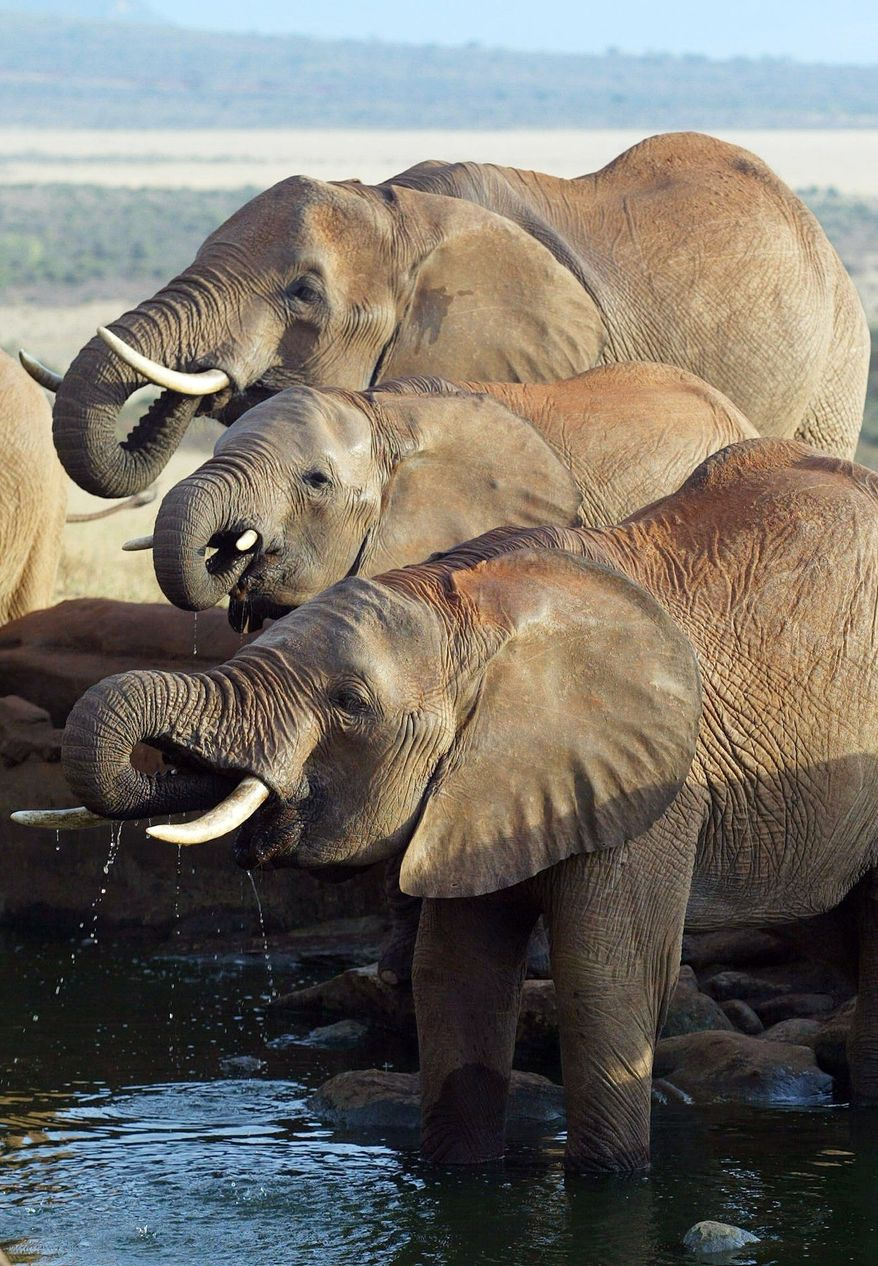 Elephant herds were thriving in Kenya's Tsavo East National Park and other parts of eastern and southern Africa since ivory trade was banned in 1989. Now, the animals are not safe from poachers just about anywhere on the continent. (Associated Press)