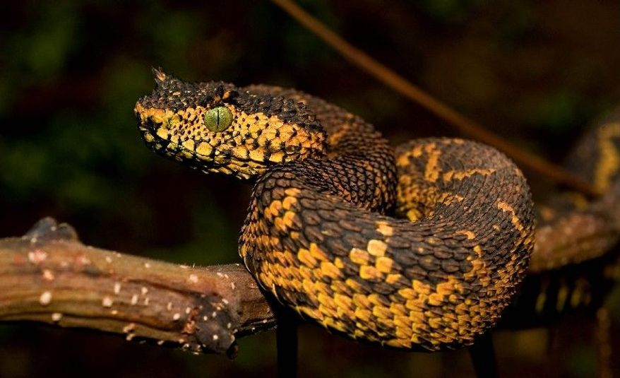 The Matilda's horned viper, discovered in southwestern Tanzania about two years ago, is the world's newest snake species. It's named for the daughter of one of its discoverers, the director of the Wildlife Conservation Society in Tanzania. (Associated Press)
