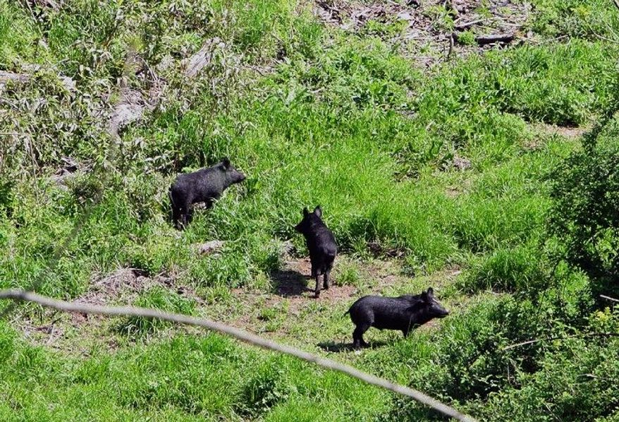 Wild hogs roam Vicksburg National Military Park, where they are causing damage around some monuments. Last year's record flooding of the Mississippi River sent the hogs and other animals to higher ground - and the hogs stayed.