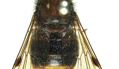 In this 2009 photo released by researcher Bryan Lessard of Commonwealth Scientific and Industrial Research Organization (CSIRO), a newly discovered horse fly in Austrlia with its golden-haired bum is shown at the Australian National Insect Collection, Canberra, Australia. (Associated Press/Bryan Lessard, Commonwealth Scientific and Industrial Research Organization)