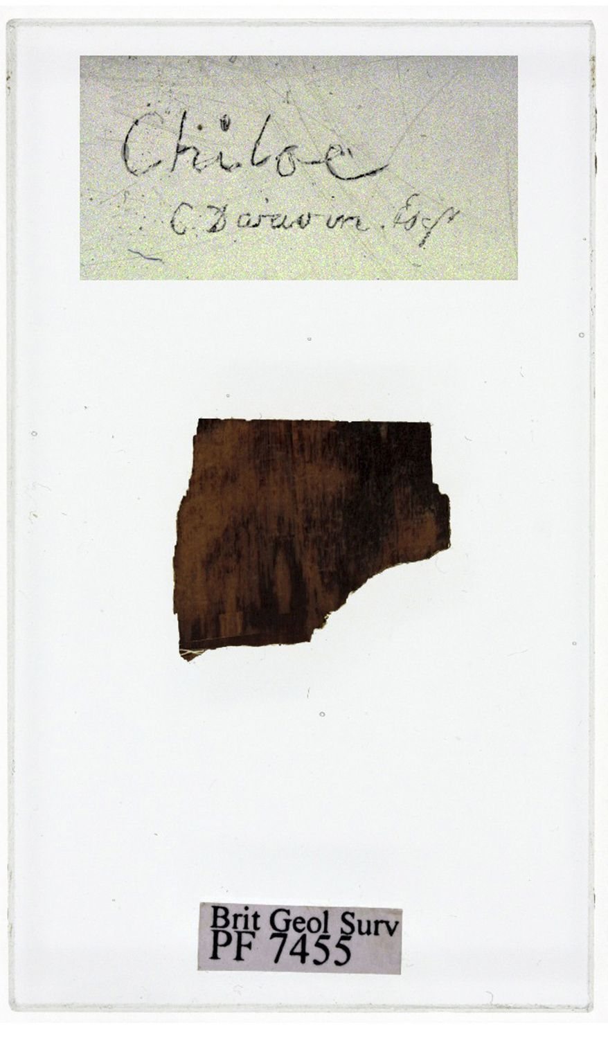"""This image made available by the Royal Holloway, University of London on Jan. 17, 2012 shows a polished section of a 40-million-year-old fossil wood collected by Charles Darwin in 1834 on Chiloe Island in South America in the course of his famous """"Voyage of the Beagle."""" (Associated Press/Royal Holloway, University of London)"""