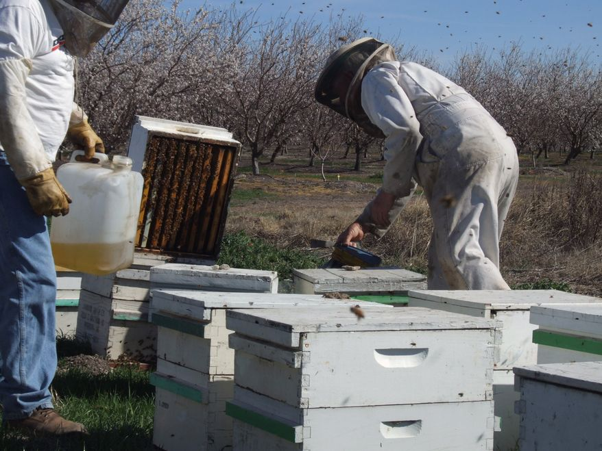 Beekeeper Orin Johnson (right) and son-in-law Jay Rolon check on colonies pollinating an almond orchard northwest of Waterford, Calif., on Feb. 23, 2012. A mild and dry winter that gave insects a reprieve from certain death now threatens to make spring a tough season for many U.S. farmers. (Associated Press/The Modesto Bee)