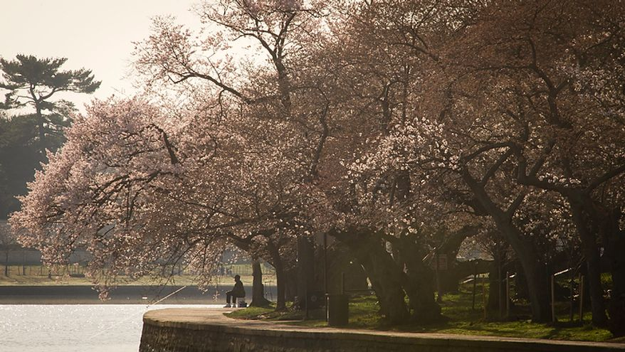 A man sits quietly and fishes from the bank of the Tidal Basin under the cherry blossoms as they make an early arrival in Washington, D.C., Thursday, March 15, 2012. (Rod Lamkey Jr/The Washington Times)