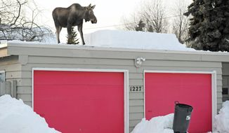 A moose calf takes in the view after making use of a snowy entrance ramp onto a roof that was cleared by an Anchorage, Alaska, resident. (Associated Press)