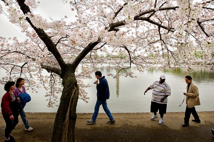 """Autistic adults Brian D., center, and James L., right, with Community Services for Autistic Adults and Children, based in Montgomery Village, Md., head back to their car with staff member Agyemang Nkrumah [ck], second from right, after taking photographs of the Cherry Blossoms along the Tidal Basin, Washington, D.C., Wednesday, March 21, 2012. The """"InFocus Project†is a way for adults with autism to develop forms of self expression and social skills while producing work that has been featured in art shows, given to donors to C.S.A.A.C., and sold on an online store. (Andrew Harnik/The Washington Times)"""