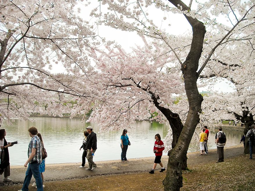 "Photographs of the Cherry Blossoms along the Tidal Basin taken by Brian D., an autistic adult with Community Services for Autistic Adults and Children, based in Montgomery Village, Md., Washington, D.C., Wednesday, March 21, 2012. Brian is part of the ""InFocus Project†which is a way for adults with autism to develop forms of self expression and social skills while producing work that has been featured in art shows, given to donors to C.S.A.A.C., and sold on an online store. (Brian D./InFocus Project)"