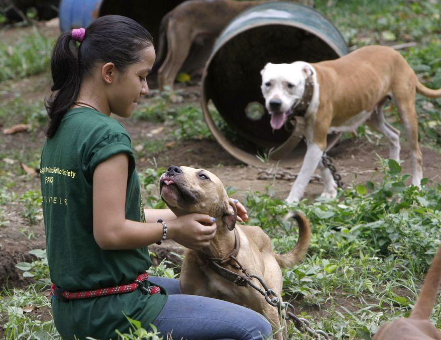 ** FILE ** A volunteer from the Philippine Animal Welfare Society (PAWS) pets a pit bull, one of more than 200 rescued from South Korean nationals at a coffee farm lot in San Pablo city, Laguna province, south of Manila, Philippines, on April 3, 2012. (Associated Press)
