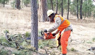 This March, 2012 photo provided by SolTribe shows Joe Shark, 29, a resident of the Pine Ridge Indian Reservation, cuts a tree infested with mountain pine beetles in South Dakota's Custer State Park as part of the Lakota Logging Project. The pine beetle epidemic has grown so large that Native Americans _ historically opposed to the logging industry _ are beginning to become loggers themselves for the greater good of saving the non-infected trees and putting the marred dead ones to use. (AP Photo/SolTribe, Struever McConnell)
