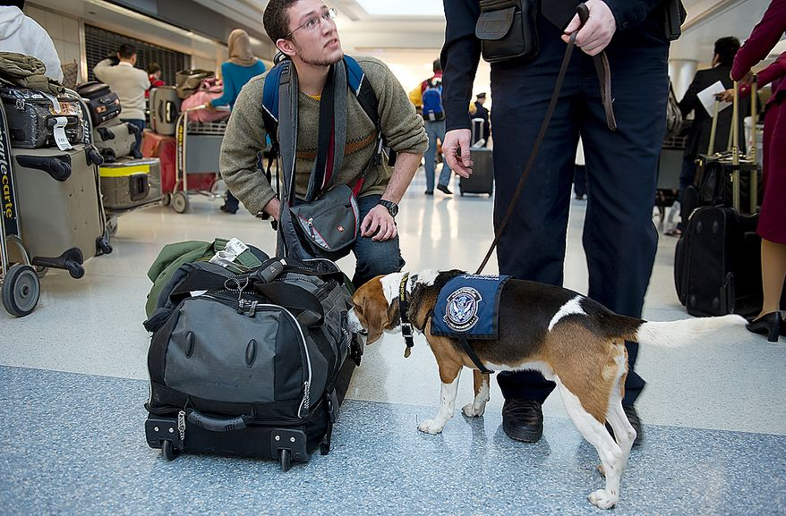 Hudson the agriculture dog alerts on a bag at Washington Dulles International Airport on Thursday, Jan. 19, 2012. Hudson is trained to alert on food. While many foodstuffs are permitted, some food from some countries is not allowed into the United States because it can potentially introduce bacterias, mold or illness. (Barbara L. Salisbury/The Washington Times)