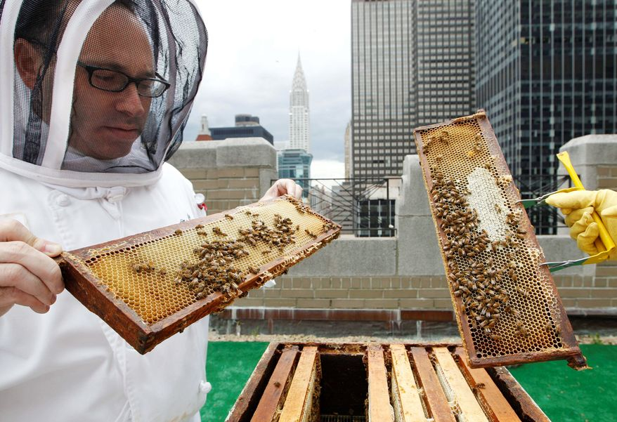 Waldorf-Astoria Hotel sous chef Josh Bierman inspects honey bees in hives Tuesday on the hotel's 20th-floor roof in New York City. The hotel plans to harvest its own honey and help pollinate plants in the skyscraper-heavy heart of the city. (Associated Press)