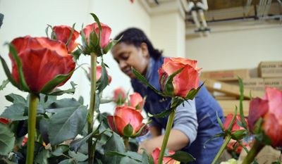 Beimnet Lakew arranges a large rose bouquet in the Embassy basement on Saturday, March 10th 2012 at the Ethiopian Embassy in Washington, D.C. (Jessica Carpenter/The Washington Times)