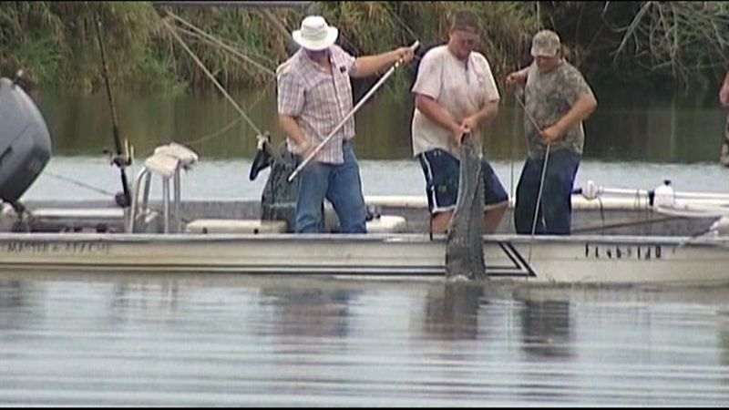 An 11-foot alligator that attacked a teenage swimmer is pulled from the water after it was killed on Monday evening, July 9, 2012, in the Caloosahatchee River near Moore Haven, Fla., in this image taken from video. (AP Photo/WBBH-TV)