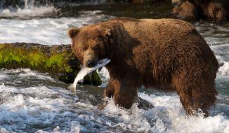 ** FILE ** A brown bear catches a salmon at Brooks Falls, Katmai National Park, in Alaska on July 17, 2012. (Associated Press/explore.org, Tahitia Hicks)