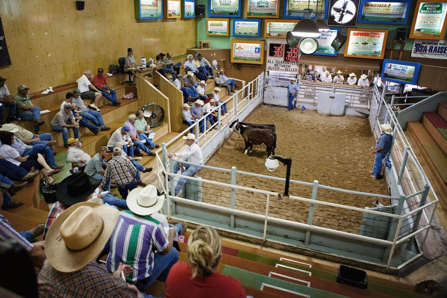 Calves are auctioned Friday at the livestock market in Burwell, Neb. With a record drought drying up grazing land and cornfields, ranchers are selling off their cattle early to avoid high feed costs. (Associated Press)