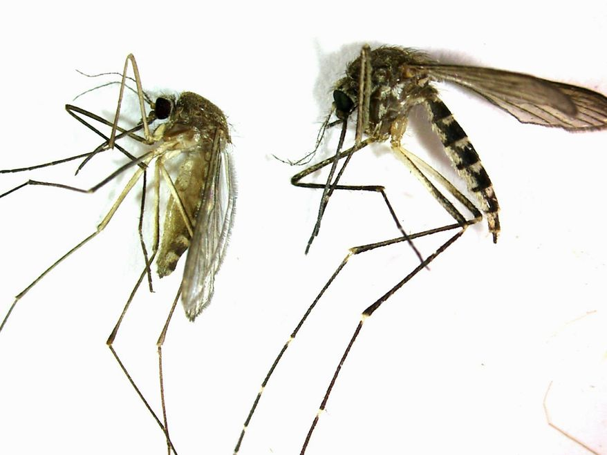 The Culex pipiens (left) is the primary mosquito that can transmit West Nile virus to humans, birds and other animals. It is produced in stagnant water. At right is an Aedes vexans, primarily a nuisance mosquito produced from freshwater that it is not a key transmitter of disease. (Associated Press)