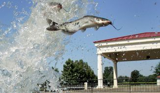 **FILE** Catfish are released into a pond at a Little Rock, Ark., park on July 16, 2008. (Associated Press)