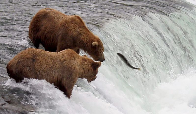 Two brown bears compete to catch salmon at Brooks Falls in Katmai National Park in Alaska. (Explore.org via Associated Press)