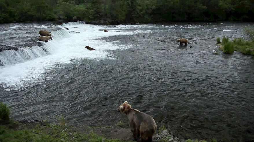 In this photo provided by explore.org, brown bears are shown catching salmon at Brooks Falls, Katmai National Park in Alaska. (Explore.org via Associated Press)