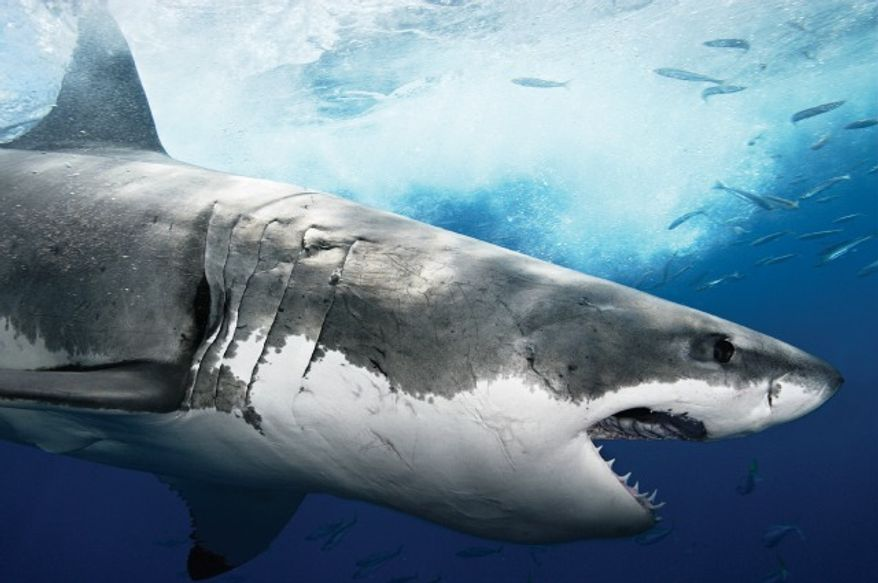 """""""Shark Week"""" celebrated 25 years on the air in 2012. (Courtesy of Discovery Channel)"""