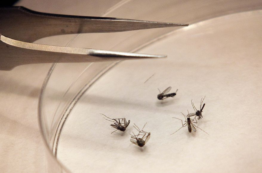 FILE - In this Aug. 16, 2012 file photo, mosquitos are sorted at the Dallas County mosquito lab in Dallas. U.S. health officials say there's been an alarming increase in the number of West Nile cases. So far there have been more than 1,100 cases reported through the middle of August. That's three times as many as usually seen at this point in the year. About half the cases are in Texas. Most West Nile infections are reported in August and September. (AP Photo/LM Otero, File)