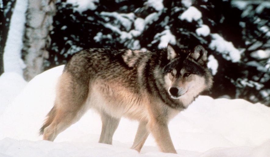 FILE - This image provided by Yellowstone National Park shows a wolf walking through the snow in Yellowstone National Park in Wyoming. U.S. Fish and Wildlife Service is expected to announce Friday Aug. 31, 2012, that it is ending protections for wolves in Wyoming. (AP Photo/Yellowstone National Park, File)