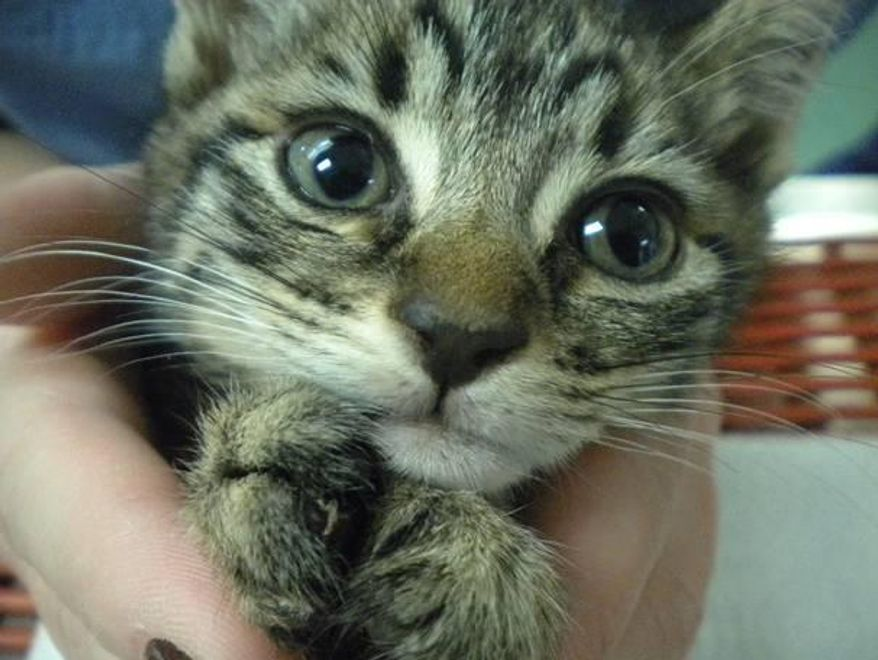 **FILE** One of two kittens euthanized because of mutilation of its claws. Photo from the Washington Humane Society.