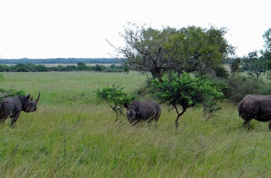 Three black rhinos graze on the savanna in the Phinda Private Game Reserve, near the town of Hluhluwe, in Kwazulu-Natal province, South Africa. (AP Photo/Matthew Craft)