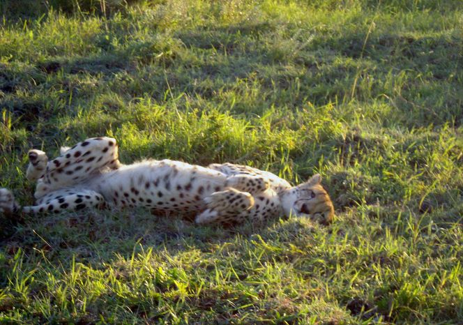 A cheetah wakes up from a nap in the Phinda Private Game Reserve, near the town of Hluhluwe, in Kwazulu-Natal province, South Africa. (AP Photo/Matthew Craft)